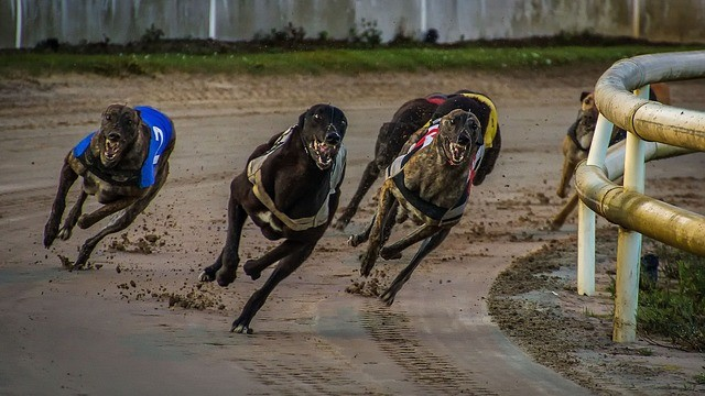 A Quick Guide to Betting on  Greyhound Racing