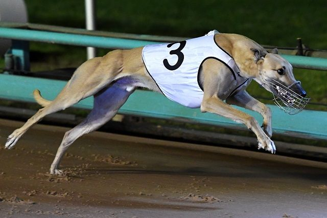 greyhound racing australia